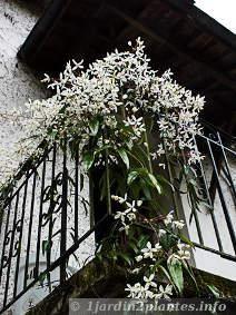 Clématite armandii: grimpante à fleurs parfumées et feuillage persistant