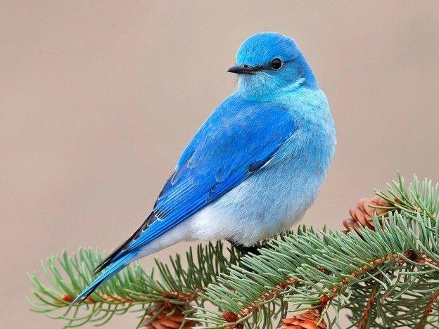 Beautiful Blue Sparrow Birds HD Wallpapers And Photos