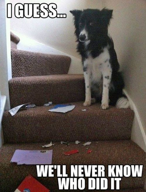 Those eyes!!Border Collies, Funny Dogs, Dogs Memes, Funny Pictures, Funnypictures, Unsolved Mysteries, Funnydogs, Funny Animal, Dogs Funny