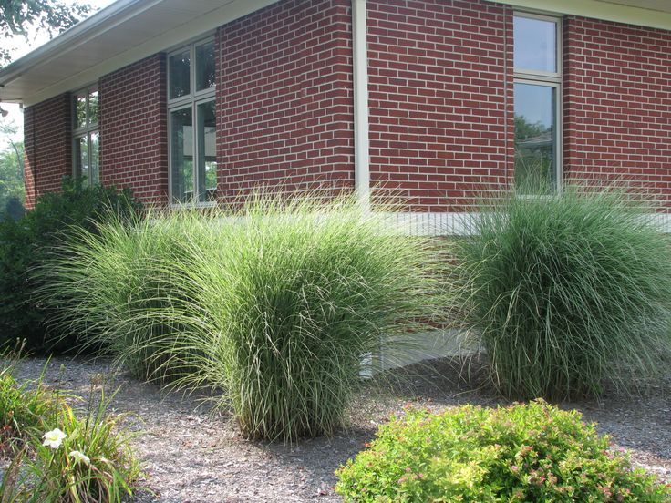 1000 images about grasses on pinterest gardens sun and for Low mounding ornamental grasses
