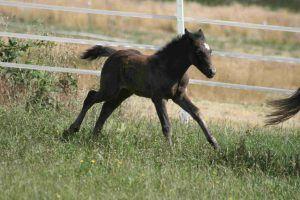 Potro de la raza de caballos berberisco