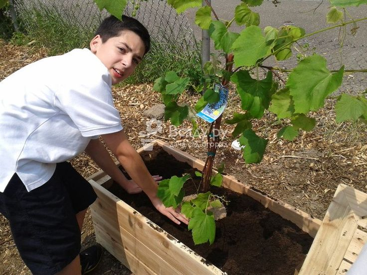 Посадка и уход винограда для новичков