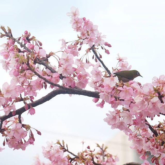 【kiipoochan】さんのInstagramをピンしています。 《幸せの青い鳥🐦?と呼ばれるメジロに出逢いました🌸✨ 無我夢中でシャッター切ったけど全然逃げない❤ 幸せがやってくるのかな…💕 きーぽー1才10ヶ月の2月13日に見れるなんて幸せ🐦❤ みんなに幸せお裾分けのためpost…😍 * #萩中公園 #メジロ #写真撮ってる人と繋がりたい #ファインダー越しの私の世界 #ママカメラ #幸運 #幸せの青い鳥 #幸せ #happiness #happy #bluebird #bird #kawaii #smile #pretty #cute #love #桜 #日本 #japan #風情 #風景 #春 #kiipoochan》