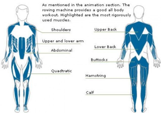 Muscles that are worked using a rowing machine # ...