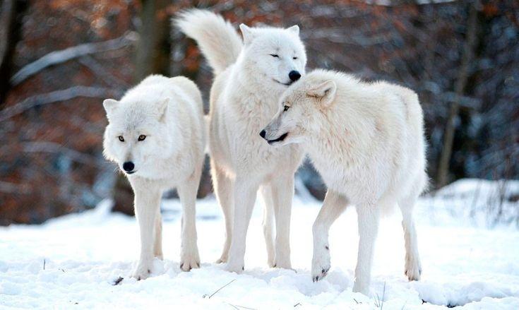 Galería de imágenes: Lobo ártico