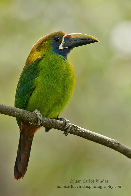 Emerald Toucanet Birds - Toucans, Hornb...