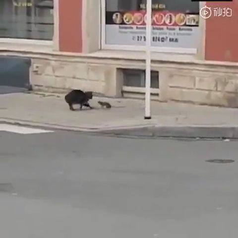 Un pauvre chat poursuivi par un rat ou une souris… Cat's fast breakfast all goes improper