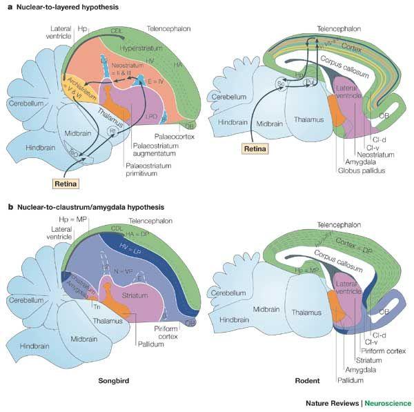162 best brain evolution images on pinterest the brain vertebrate brain evolution google search ccuart Images