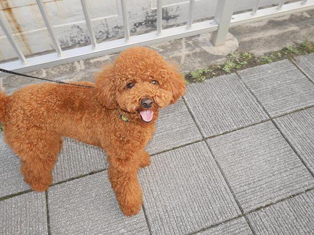 僕可愛いでしょ?雨降ってるからお散歩出来ないよぉ💧  #ミラーレスのある生活  #お散歩 #過去pic  #トイプードル #toypoodle #トイプードルレッド #デカプー #犬バカ部 #ふわもこ部 #もこもこ部 #いぬすたぐらむ #いぬのいる暮らし  #愛犬 #ビョルスタグラム