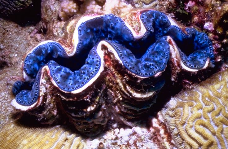 Giant Clam in the Great Barrier Reef - my first sighting of one was a wonderful experience .. it was so huge, and the blue looked and felt like soft velvet.