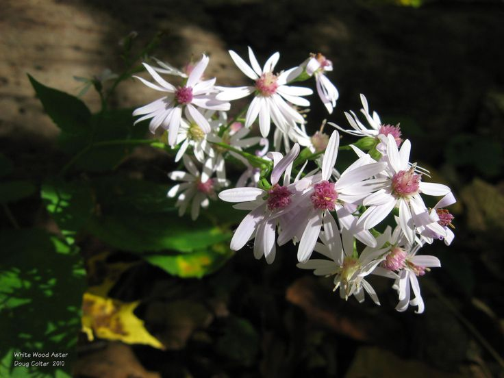 White wood aster (Aster divaricatus) • Family: Aster (Asteraceae) • Habitat: dry woods • Height: 1-3 feet • Flower size: flowerheads 3/4 to 1 inch across • Flower color: white rays; center starts yellow then ages to reddish purple • Flowering time: August to October • Photo by Doug Colter