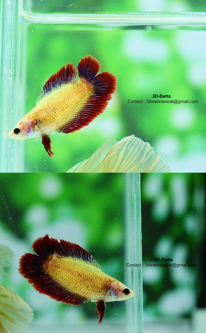 The females with this tail type just look so flippin cute for What type of water do betta fish need