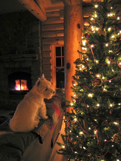 Beautiful Westie Christmas photo.  Home is not home without a westie