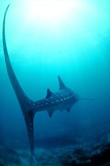 whale shark tail. Repined by www.flooglebinder.co.uk