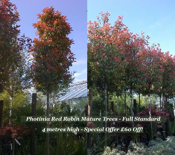 (how to prune the) Photinia Red Robin (to look like a tree)
