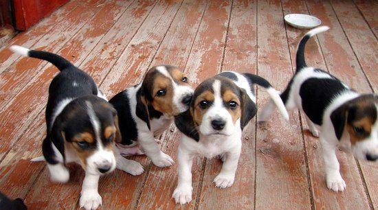 Выбор щенка гончей для охоты  При выборе щенят начинающий собаковод-гончатник в основном полагается на совесть заводчика. Такая процедура как выбор щенка, как правило, начинается с выбора помета. Чтобы выбрать тот или иной помет, прежде всего, следует познакомиться с производителями и узнать об их родословной. При этом учитываются полевые и выставочные оценки, как самих производителей, так и отдаленных предков. Также рекомендуется узнать о том, нет ли в родословной собаки другой породы, ведь…