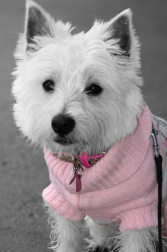 West Highland White Terrier in Pink!