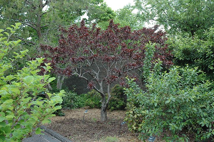 Click to view full size photo of bonfire dwarf ornamental for Dwarf decorative trees