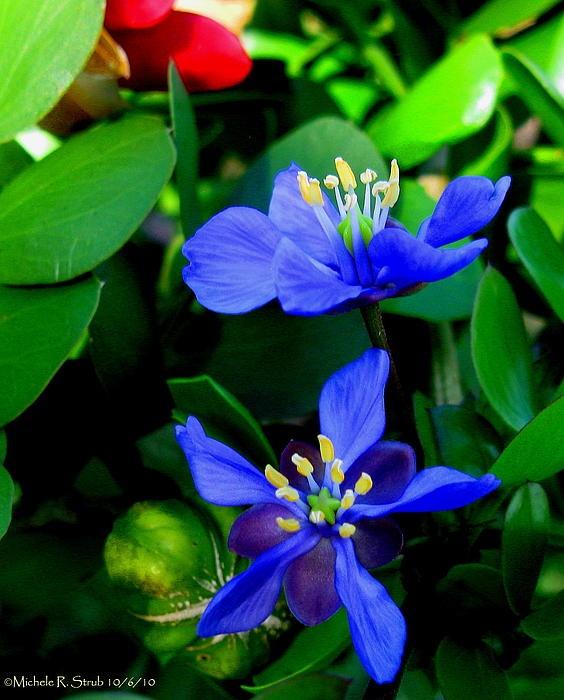 Lignum Vitae, endangered | Key West | Exotic flowers ...