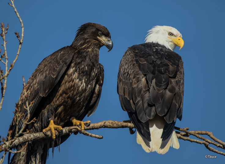 """""""Family Matters""""...   Bald Eagles (Haliaeetus leucocephalus):  Juvenile and Adult - photo by Tony Joyce, via flickrhivemind;  """"Bald eagles are not actually bald; the name derives from an older meaning of the word, """"white headed."""" The adult is mainly brown with a white head and tail. The sexes are identical in plumage, but females are about 25 percent larger than males. The [yellow] beak is large and hooked. The plumage of the immature is brown"""" with a black beak.  - info from Wikipedia"""