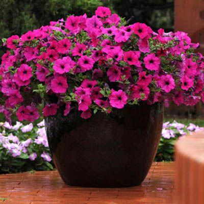 17 best images about petunias on pinterest gardens - Wave petunias in containers ...