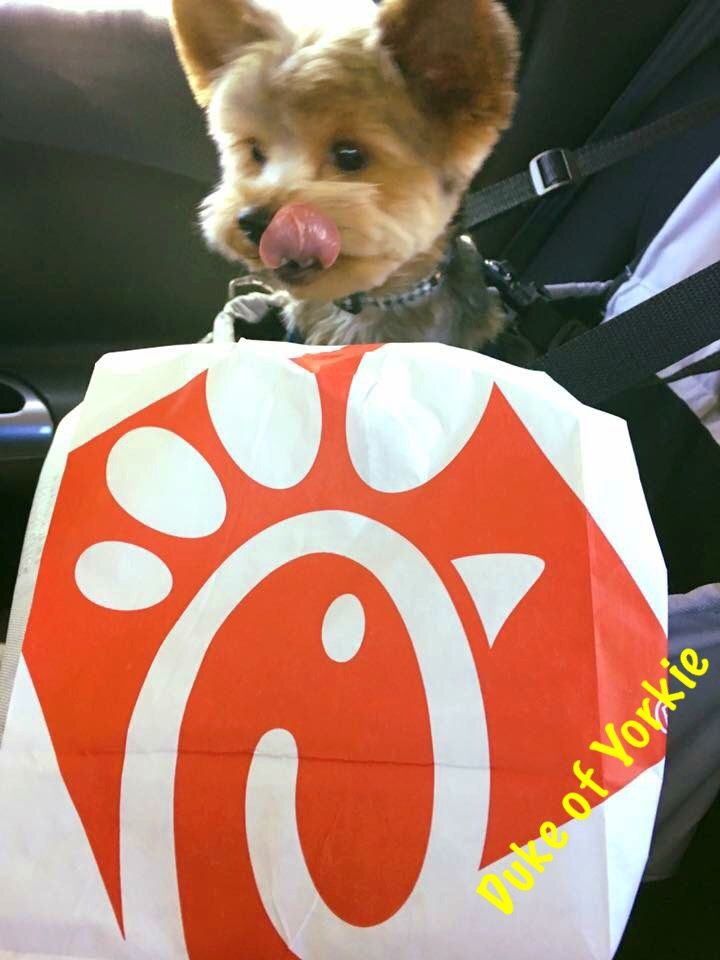Duke of Yorkie loves Chick fil a