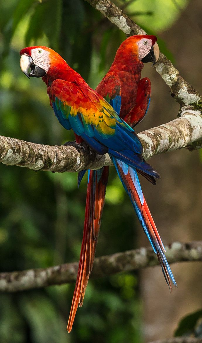Scarlett Macaw Couple (Ara macao) from South America