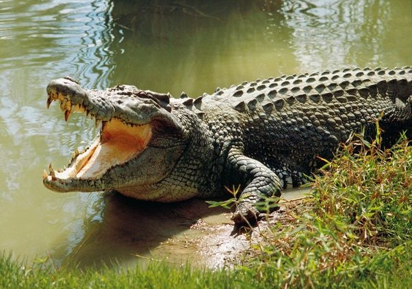 What Are Some Mind Blowing Facts From The Animal Kingdom Saltwater Crocodile Crocodile Facts Crocodile
