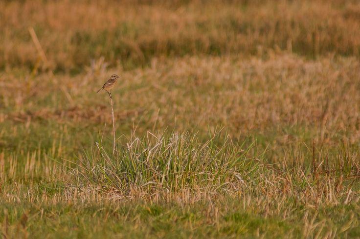 Schwarzkehlchen. Weibchen in leicht erhöhter Position.