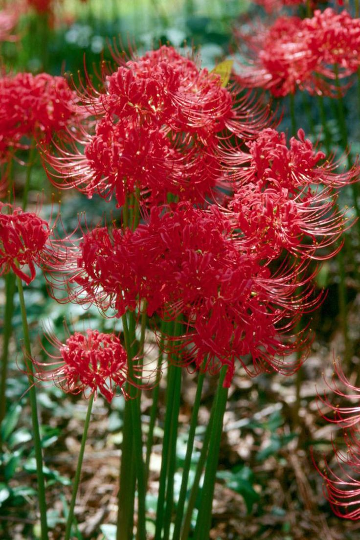 every Southern garden needs spider lilies.  my aunt and nanaw planted these at my house as a surprise for me when they bloomed in the spring. nk
