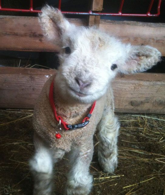 """Babydoll sheep - """"The smiling fuzzy faced sheep."""""""