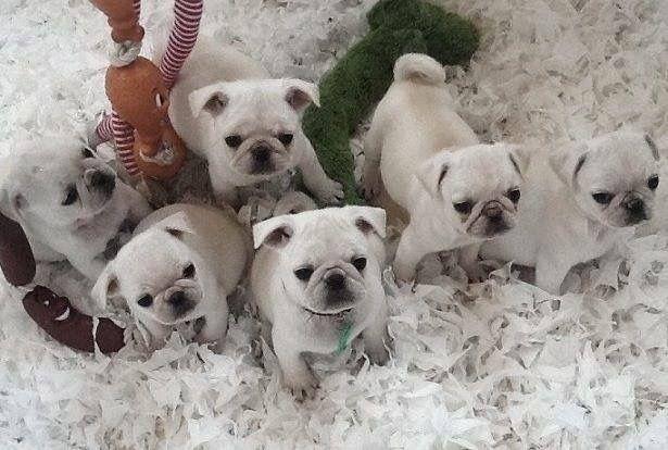 Adorable baby Pugs