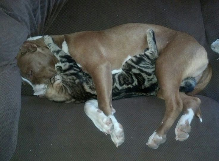 10 pictures of situations that show the true nature of pit bulls