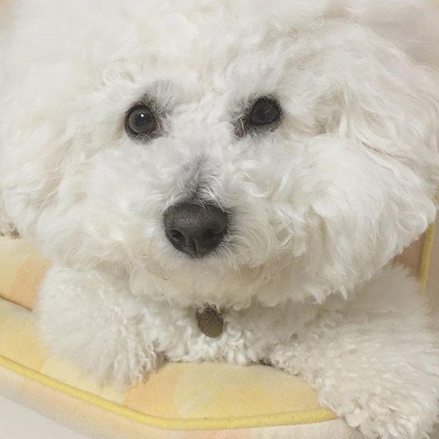 . .  やっと眠くなってきたようです🐶💤 . .  Good night...💫🐶 . .  #dog#dogs#bichon#bichonfrise#luke#犬#愛犬#多頭飼い#ビション#ビションフリーゼ