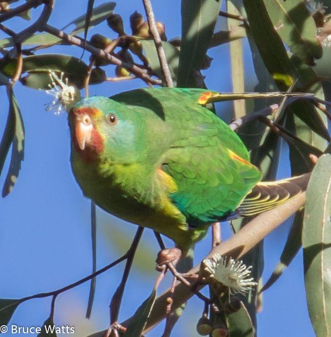 Swift Parrot - Pelton