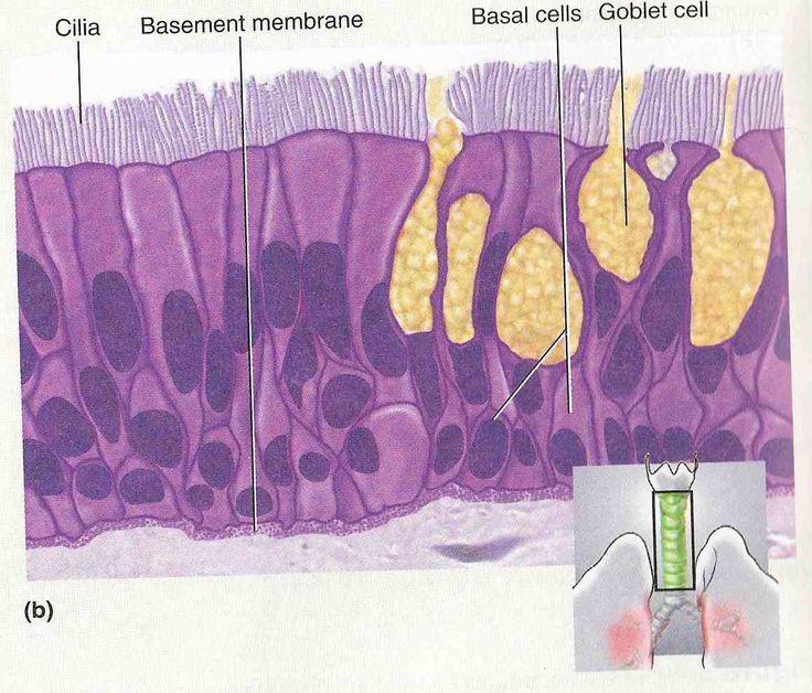127 Best Epithelial Tissue Images On Pinterest Histology Slides