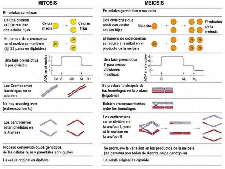 num de cromosomas y adn en cada fase division celular - Buscar con Google