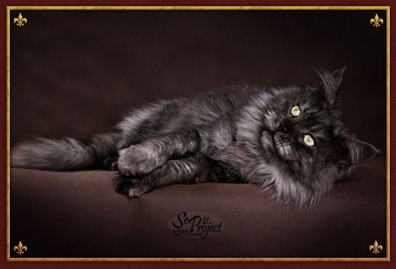 #MaineCoon #BlackSmoke #Black #Smoke #Cats