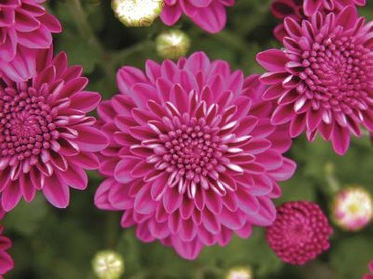 chrysanthemum x morifolium - photo #5
