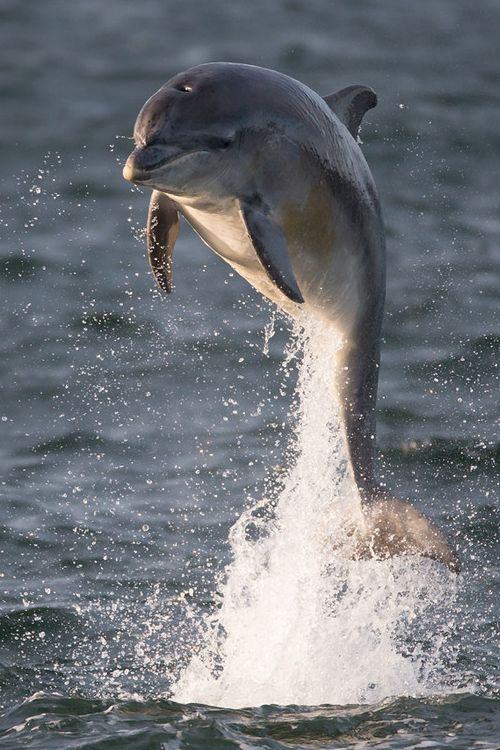 Dolphin (by Tony House)