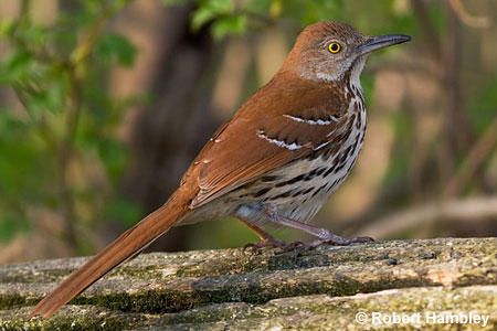 Michigan Brown Thrasher Bird: with the incredible play list. The Brown Thrasher is one of three members of the bird family Mimidae. All three improvise their song, and frequently mimic songs of other birds. They have no one song of their own. By Richard Havenga