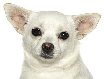 Fort Lauderdale, FL - Chihuahua Mix. Meet Bubbles, a dog for adoption. http://www.adoptapet.com/pet/12224399-fort-lauderdale-florida-chihuahua-mix