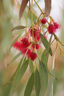 Gum blossom from a Eucalyptus tree. Photo taken in New South Wales in a town called Benanne in Australia.