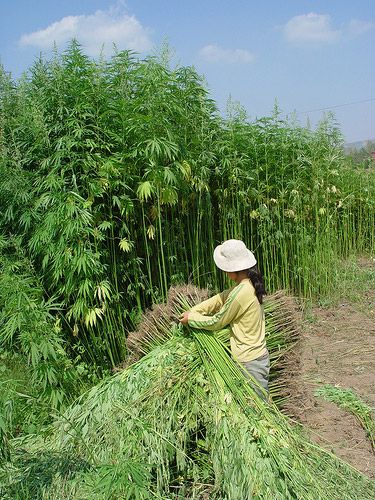 Hemp-Amazing-Facts--1  Click on the pic & go to site to see the rest of the amazing facts.