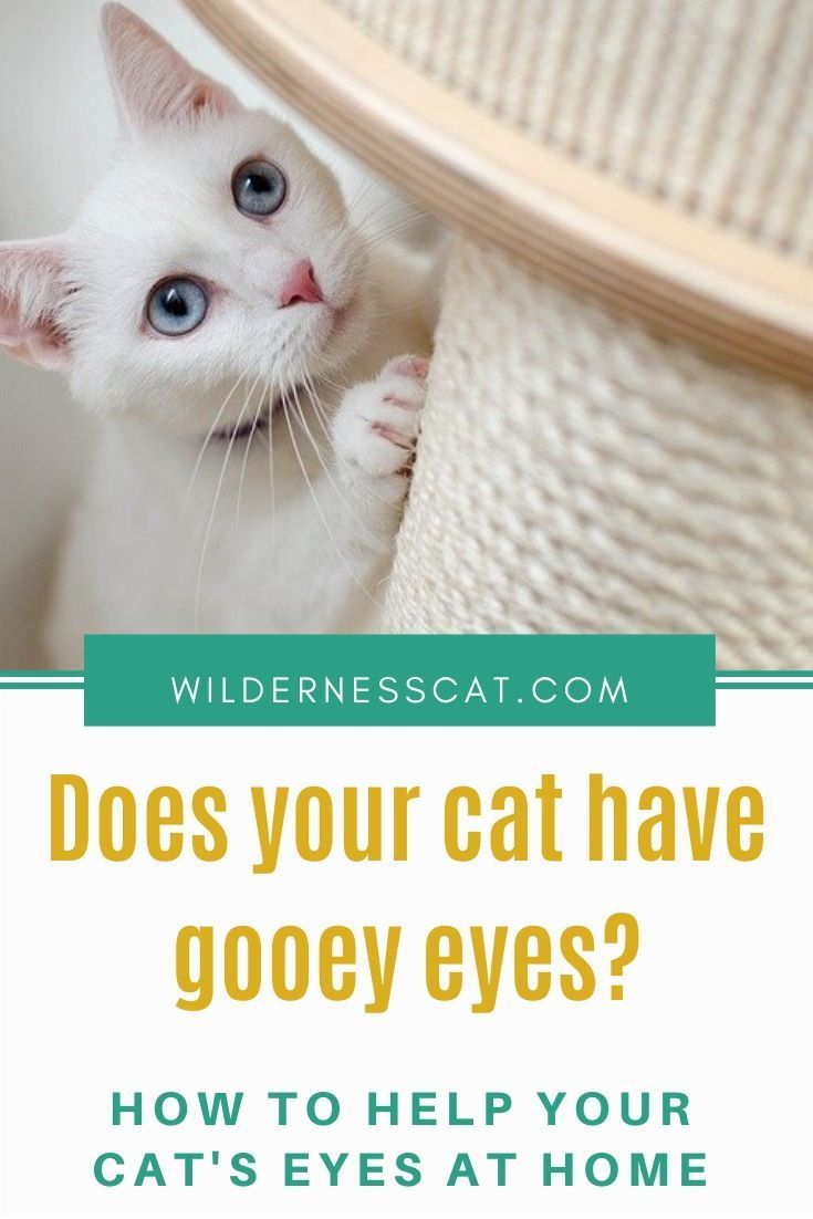 Home Remedies For Cat Eye Infection Wildernesscat In 2020 Cat Eye Infection Eye Infections Eye Infection Symptoms