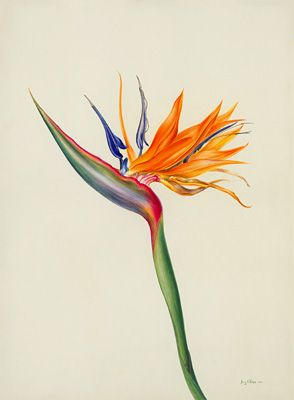 jenny phillips botanical artist - Google zoeken