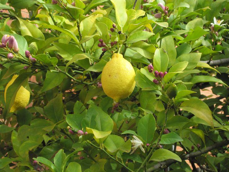 Simple et facile plantez des pépins de citron.