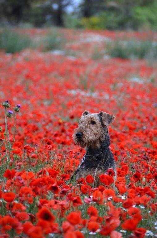 Airedale in a poppy field