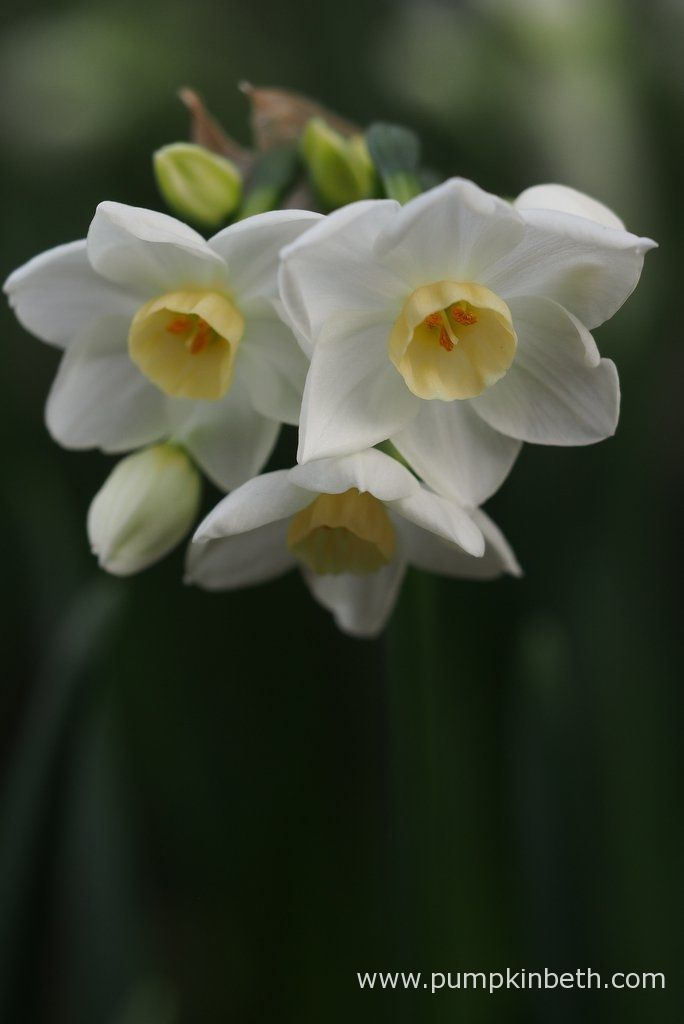 Narcissus 'Grand Primo' pictured during my Scented Daffodil Trial.