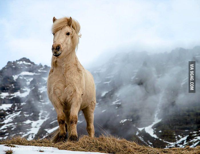 Majestic Icelandic Horse